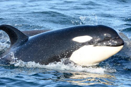 Características da Orca: saiba mais