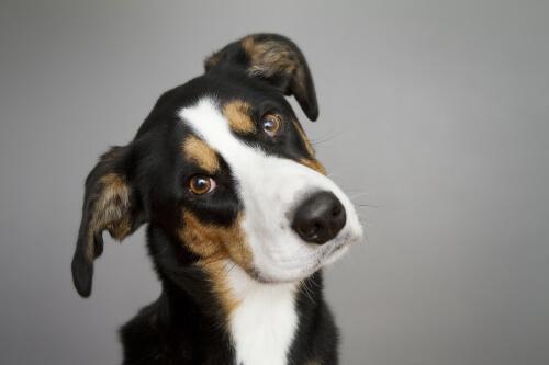 Cachorro com a cabeça inclinada