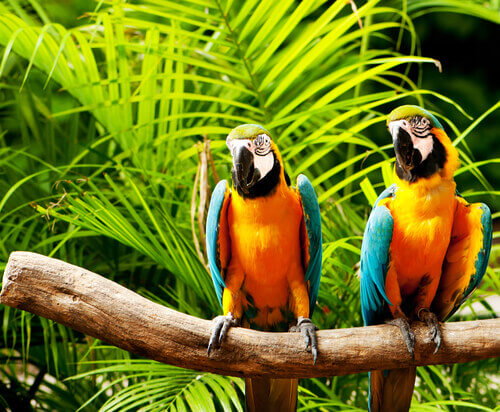 Araras coloridas