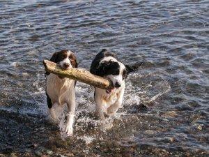 Cães segurando pedaço de madeira num rio