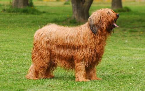 Pastor de Brie, um cão inteligente e cheio de vida