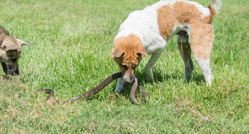 Cachorro mordendo cobra