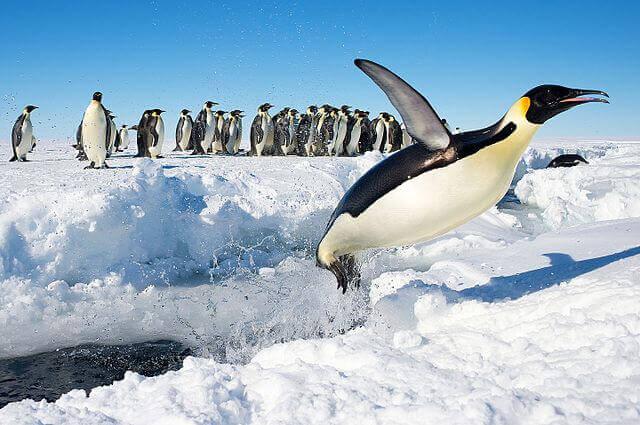 O pinguim imperador
