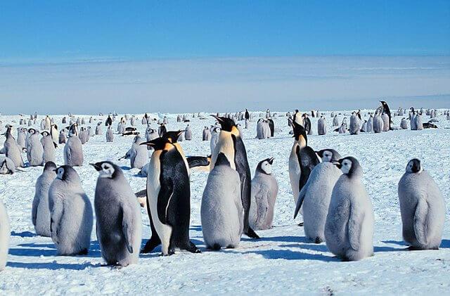 Pinguim imperador e sua dura jornada