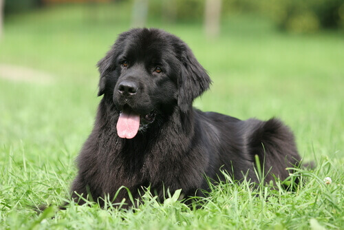 Conheça as 8 raças de cães mais preguiçosas