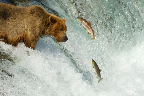 Urso observando salmões pulando em rio
