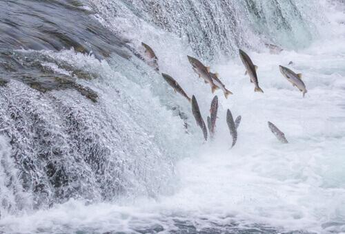 Migração do salmão: uma viagem surpreendente