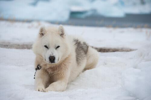 Você conhece o cão da Groenlândia?