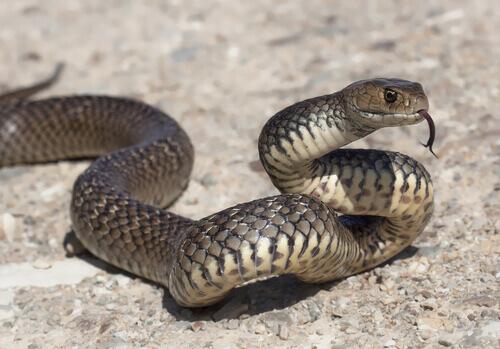 Alimentação da cobra doméstica: conheça