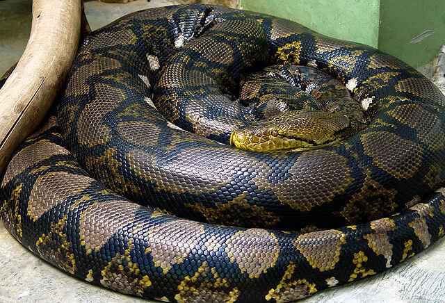 Alimentação da cobra doméstica: saiba mais