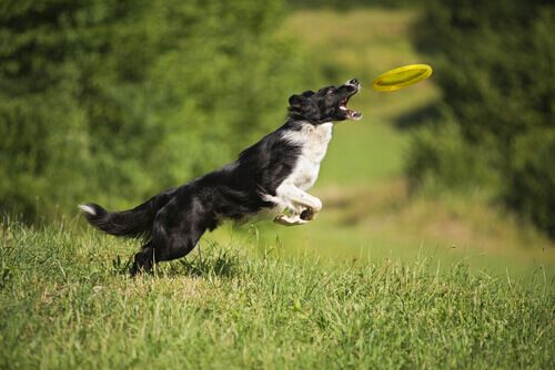 Cachorro pulando para pegar frisbee