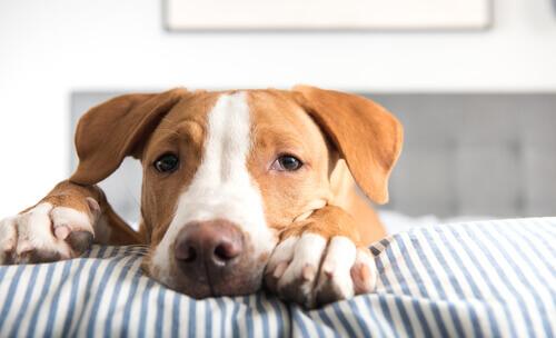 A tênia canina