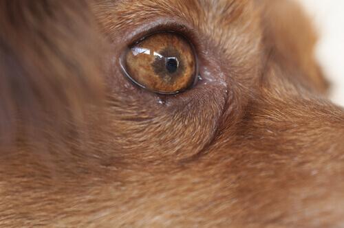 thelaziose ocular canina sintomas