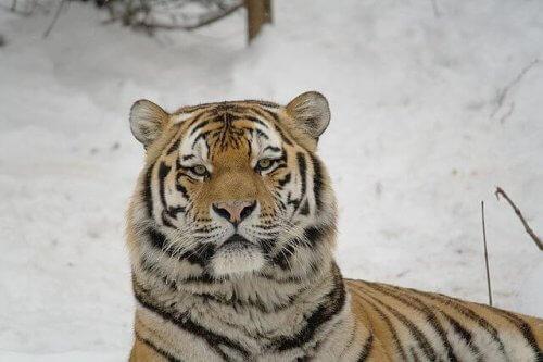 O tigre siberiano, veloz caçador em perigo de extinção