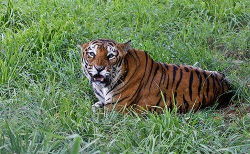 Tigre de Bengala: características e comportamento