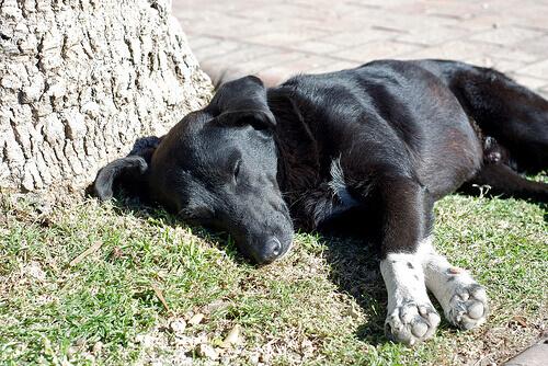 Torção do estômago em cães: entenda o problema