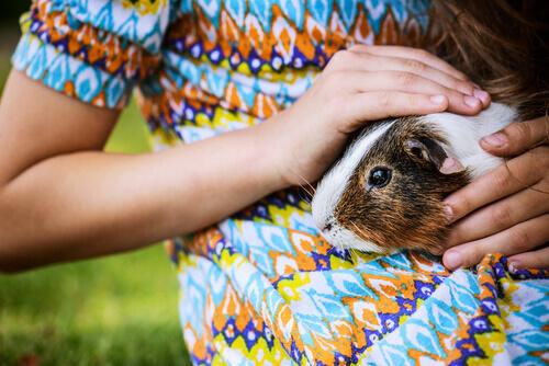 Aprenda truques para porquinhos-da-índia