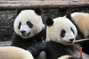 Ursos panda