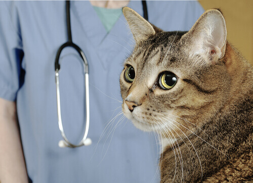 Gato no veterinário
