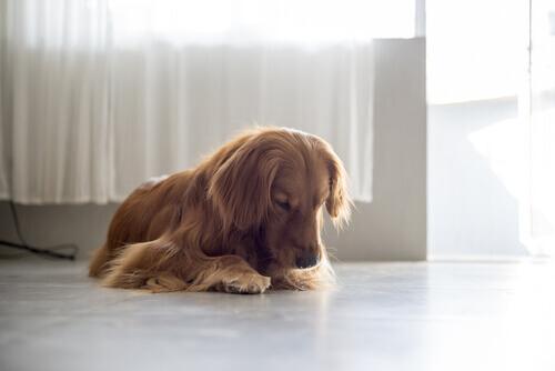 Por que sua cadelinha lambe a vulva?