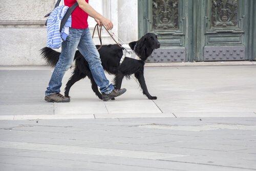 Cão-guia: adestramento