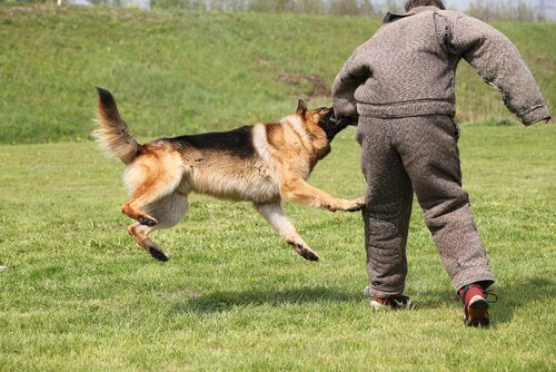 Conheça o Treinamento de defesa e ataque para cães