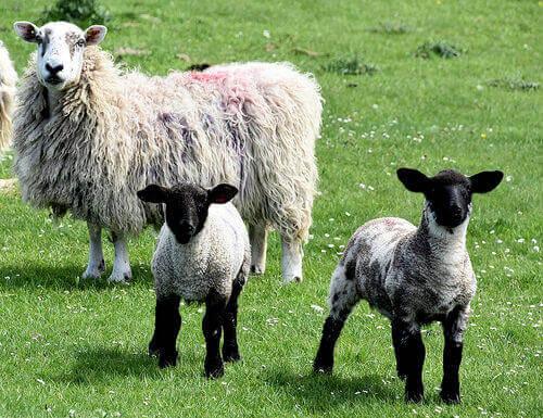 Ovelhas e cordeiros no campo