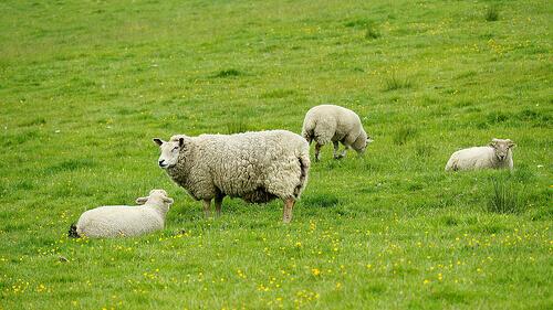 Alimentação para ovelhas: todos os conselhos