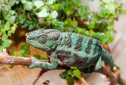 animais que se camuflam: camaleão