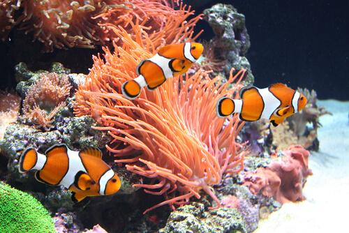 Peixes-palhaço num aquário