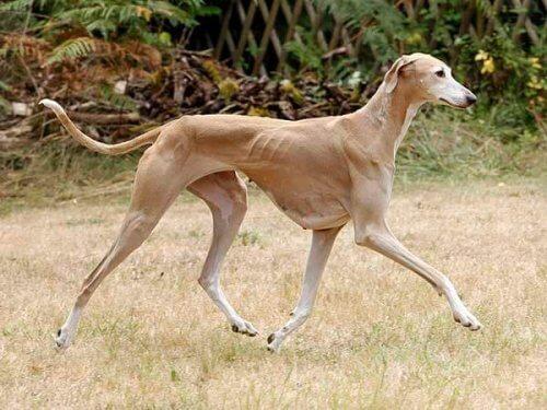 Azawakh: conheça essa curiosa raça de cachorro