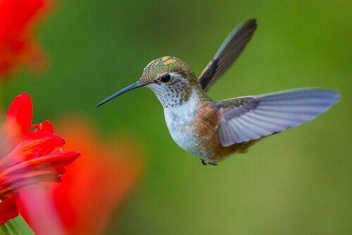 A fascinante história do beija-flor