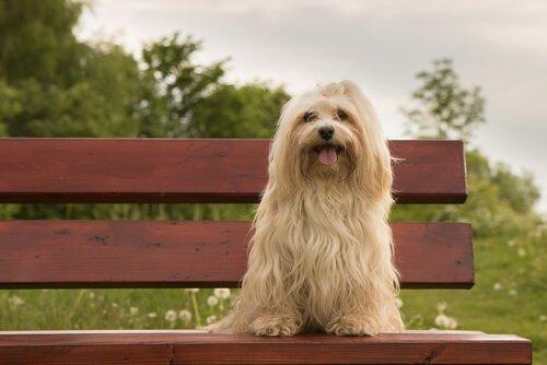 Bichon havanês: o cão de Cuba