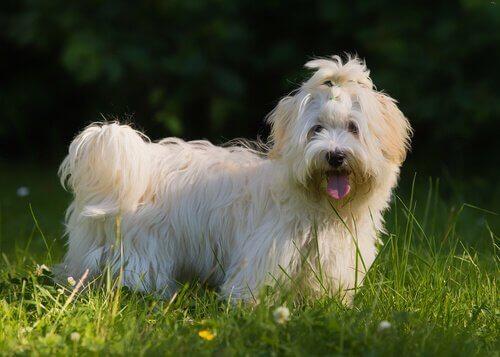 Bichon havanês: o cão nacional de Cuba