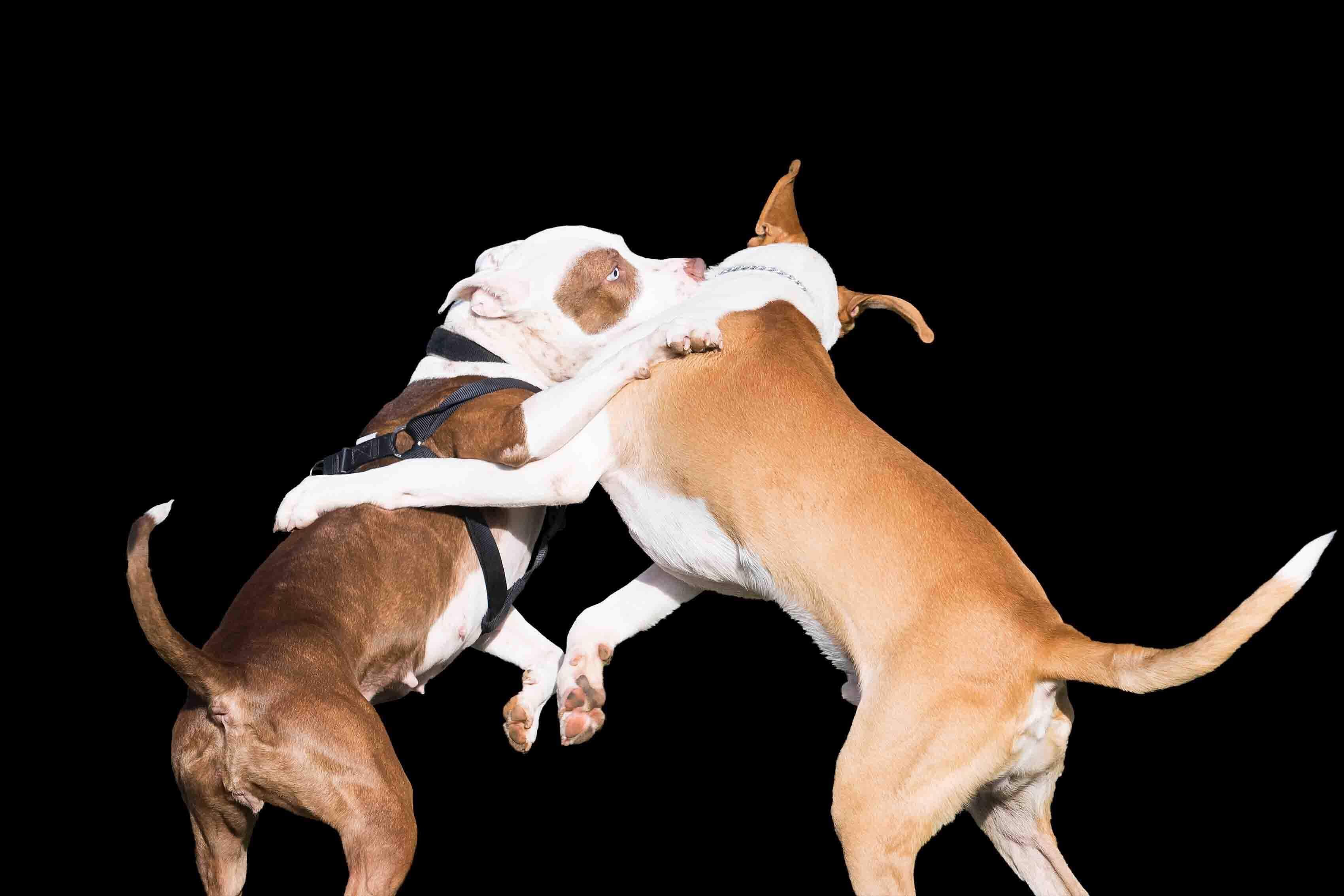 Como parar uma briga de cães?