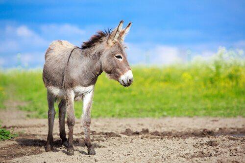 Diferenças entre asno, burro e mula