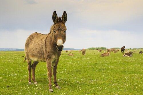 burro no campo