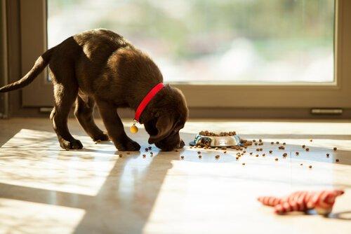 Cachorro comendo ração espalhada no chão