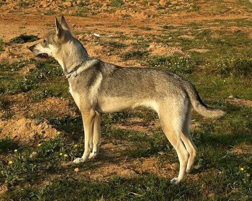 Cão lobo Herrero