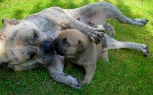 Ca de Bou ou Cão de presa maiorquino