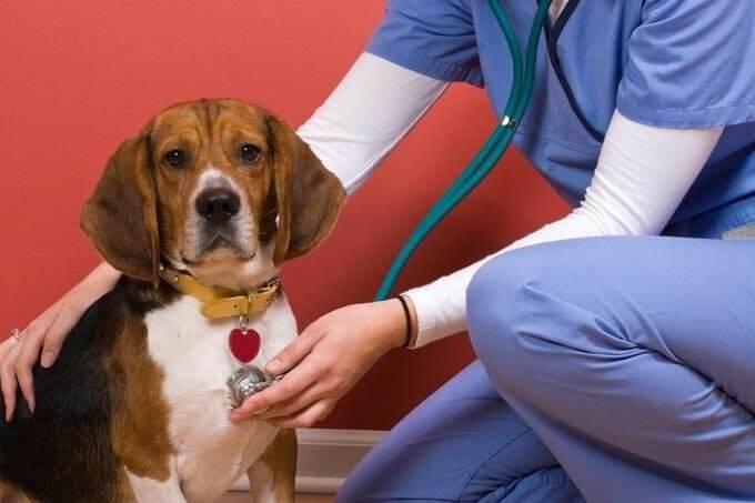 Cachorro sendo auscultado por cardiologista veterinária