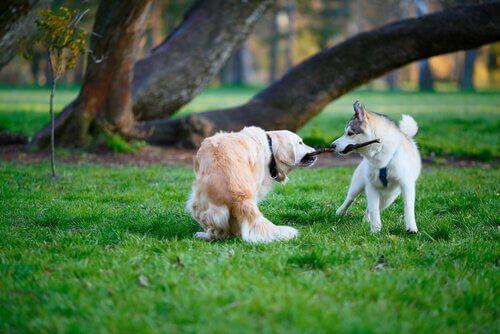 Cachorros disputando um graveto
