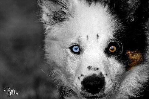 cães com um olho de cada cor
