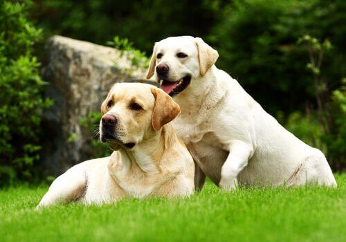 Casal de cachorros