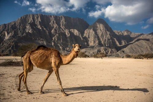 Camelo numa região desértica
