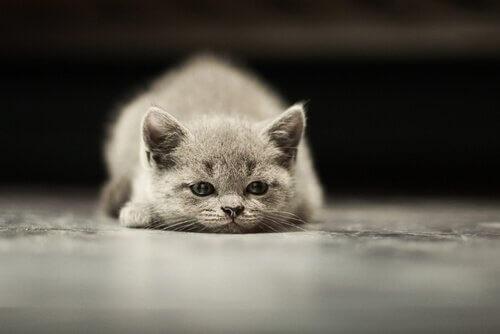 Câncer em gatos: quais os tipos mais frequentes?