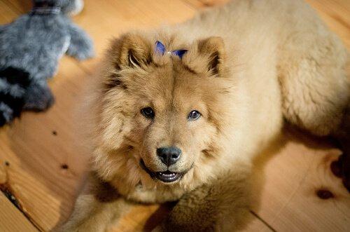 Cachorrinha com laço