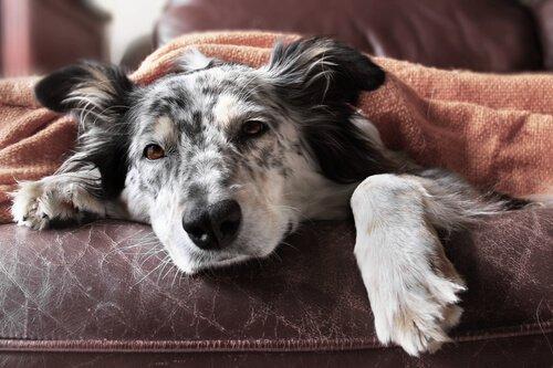 Gripe em cães: sintomas e tratamento