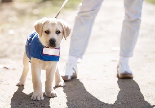 Filhote sendo treinado como cão-guia
