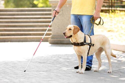 Vida do cão-guia: como é a rotina deste animal?